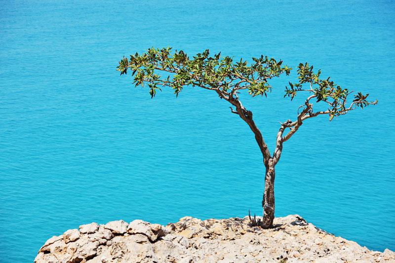 Arbre du Boswellia sur l'île de Socotra au Yemen