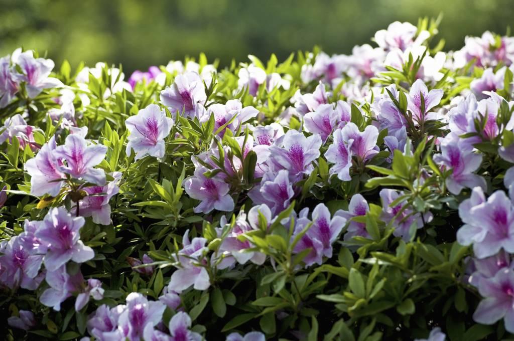 plante azalée