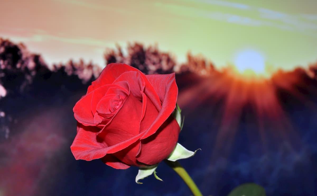 bienfaits rose