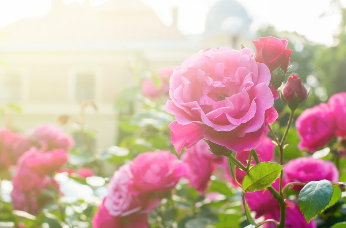 signification rose