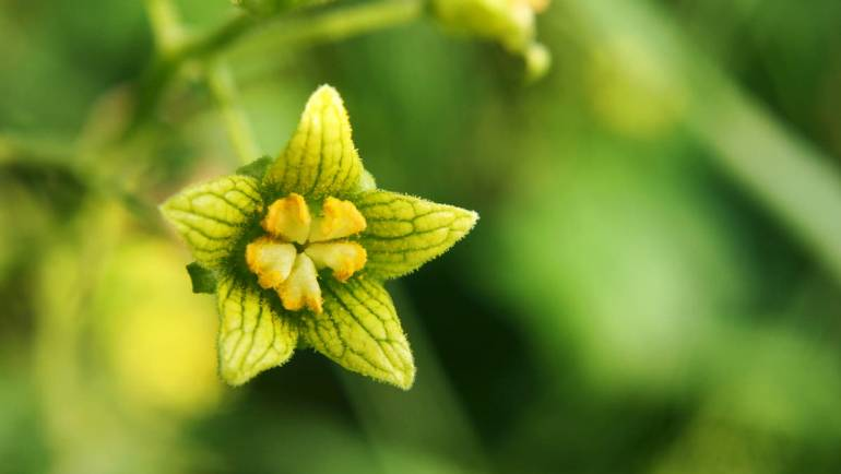 La mandragore, une plante atypique et pleine d'histoire.