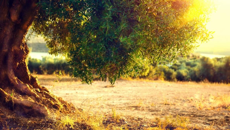 Quand et comment tailler un olivier ?