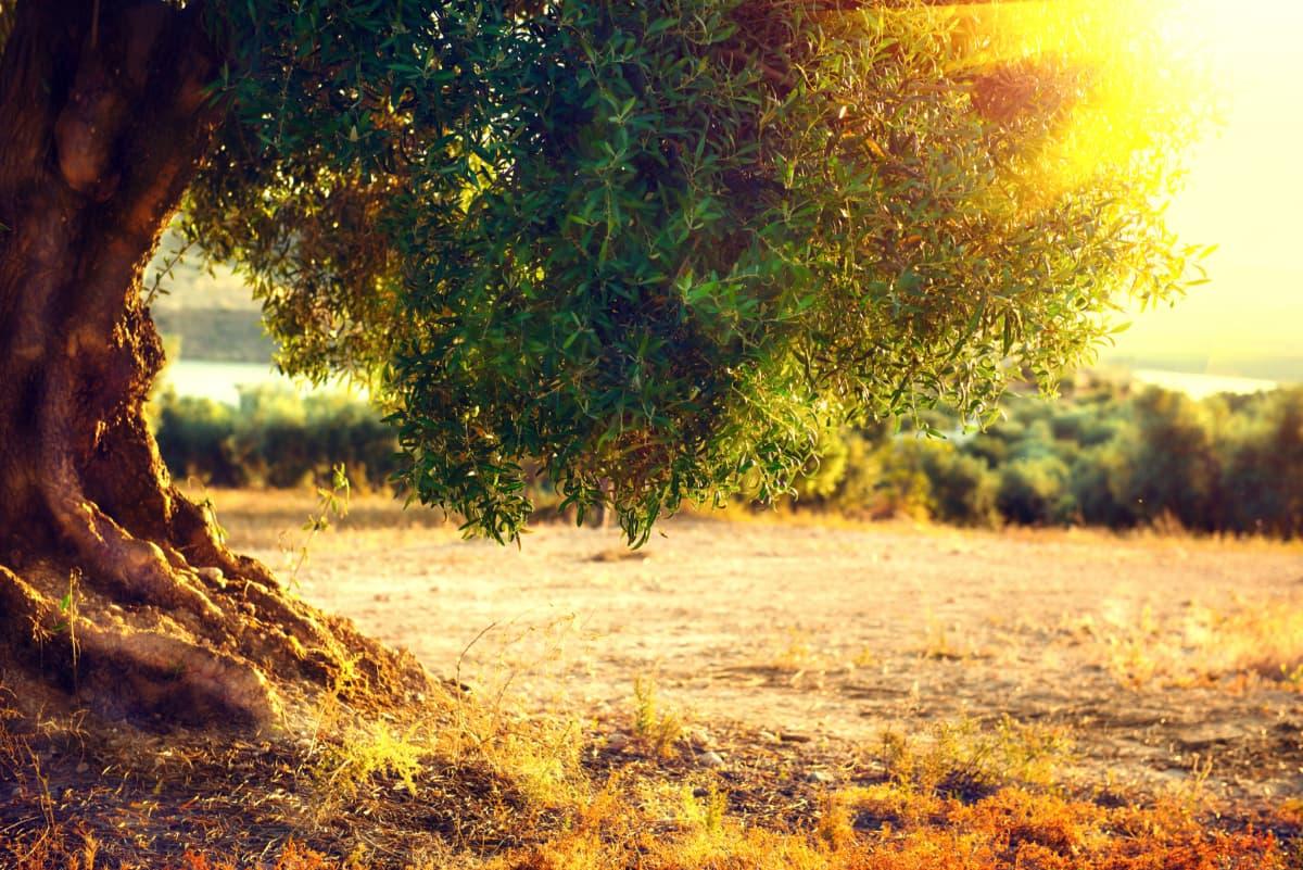 Taille D Un Olivier Comment Faire quand et comment tailler un olivier ? - plants for people