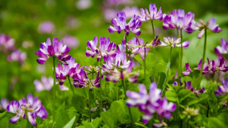 L'astragale, la plante aux multiples vertus