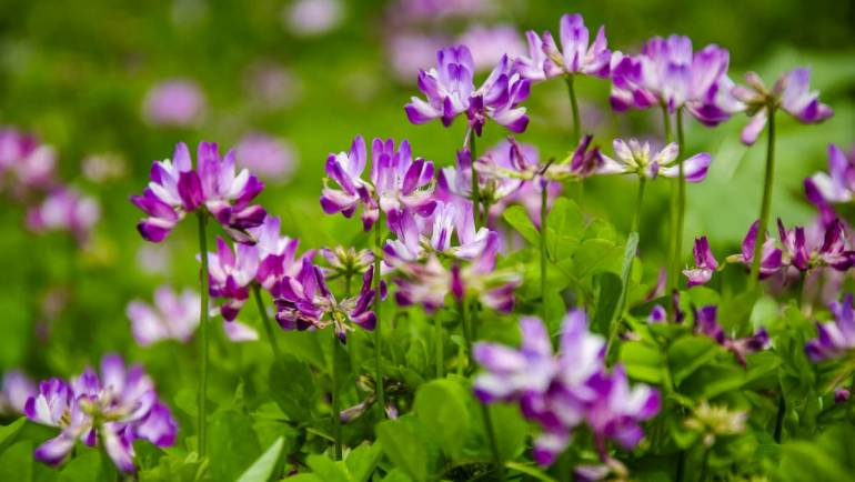Extrait D Astragale Bio : Bon de réduction - Posologie | Comment faire une cure ?