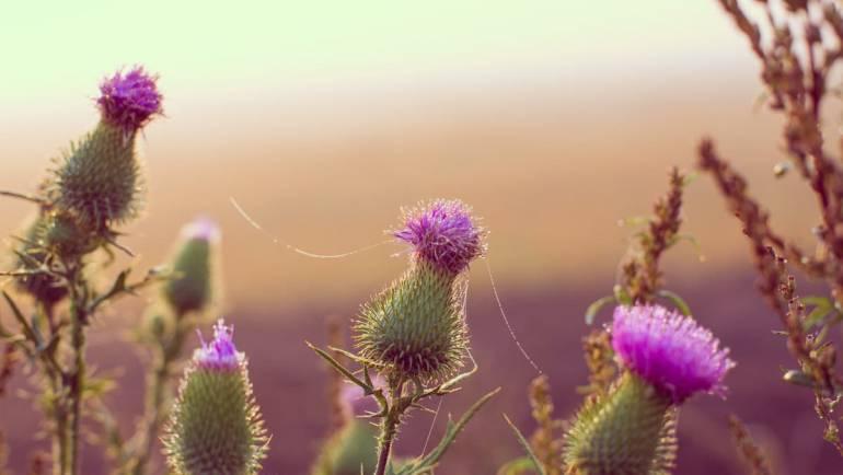Chardon Marie, bienfaits de cette plante alliée du foie