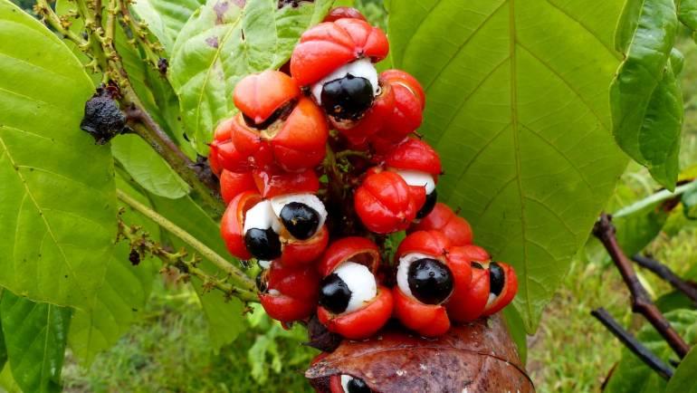 Le guarana, la plante qui stimule votre corps et votre cerveau