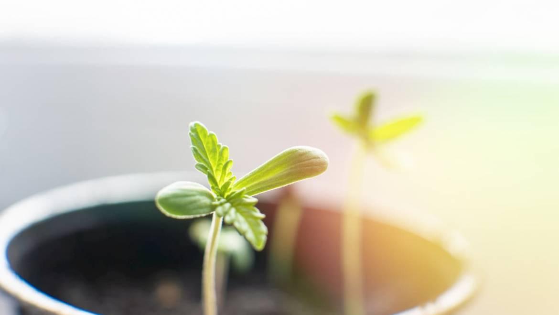 Germination des graines de cannabis, comment on fait ?