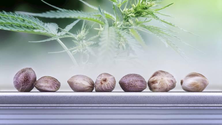 Graine de cannabis : un aliment extrêmement nutritif