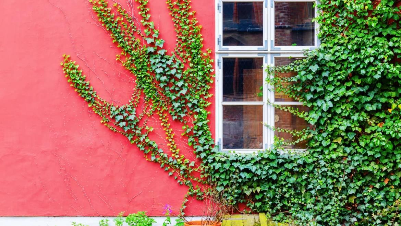Plantes Grimpantes, lesquelles choisir pour raviver vos claustras !
